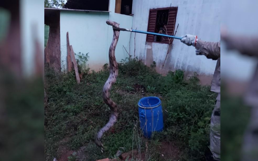 Cobra é resgatada em quintal de casa de moradora em Silvânia, Goiás. — Foto: Reprodução/ TV Anhanguera