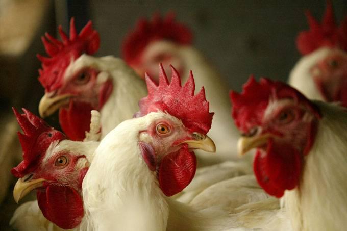 Alemanha: casos de gripe aviária foram registrados em quatro países europeus (Dimas Ardian/Getty Images)