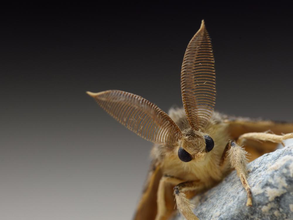 Fêmeas da mariposa cigana podem botar centenas de ovos, que se tornam lagartas e destroem mais de 500 tipos de árvores e arbustos /Foto: Shutterstock