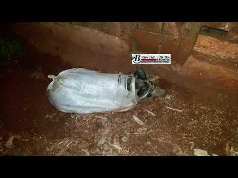 Em Alto Piquiri ladrões fogem da PM e abandonam motos, arma e porcos que seriam furtados - Brandão Junior